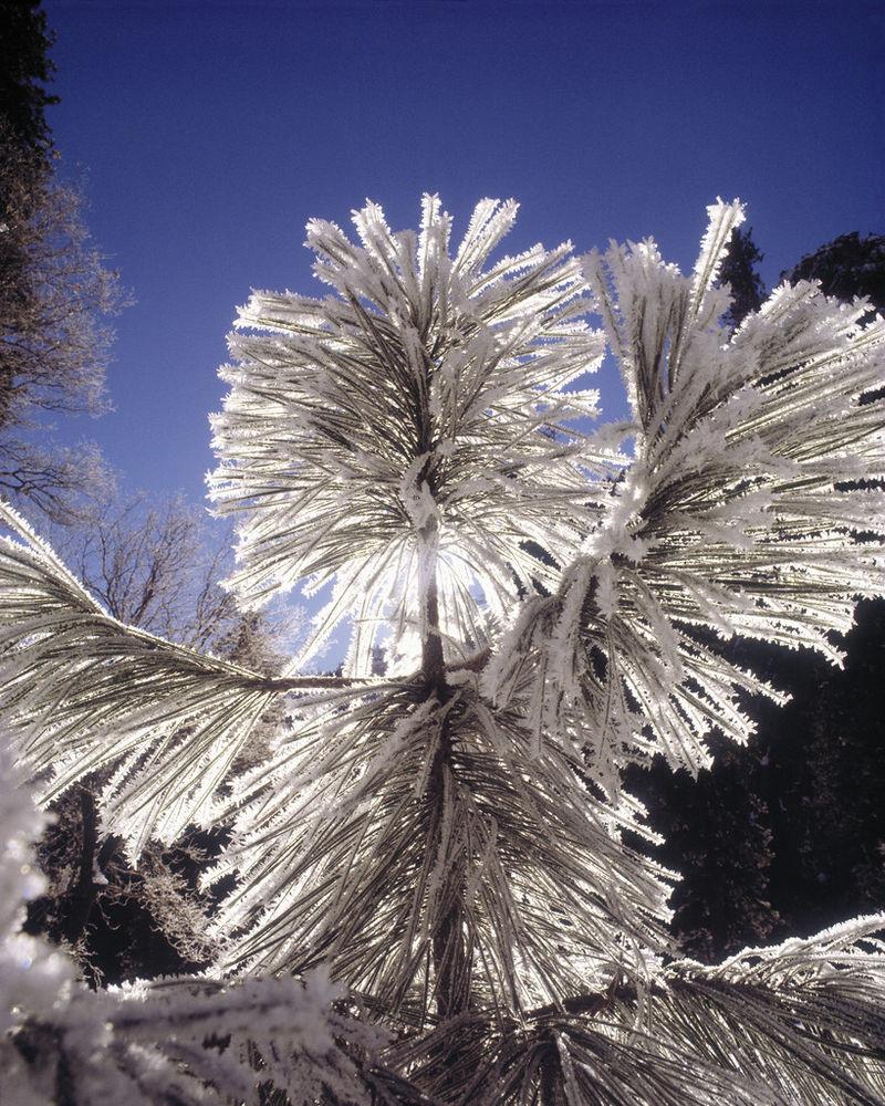 furu med snø