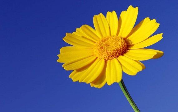 gul sommerblomst