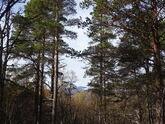 Høyestliggende barskog Langmorkjealm foto Geir Korsvold