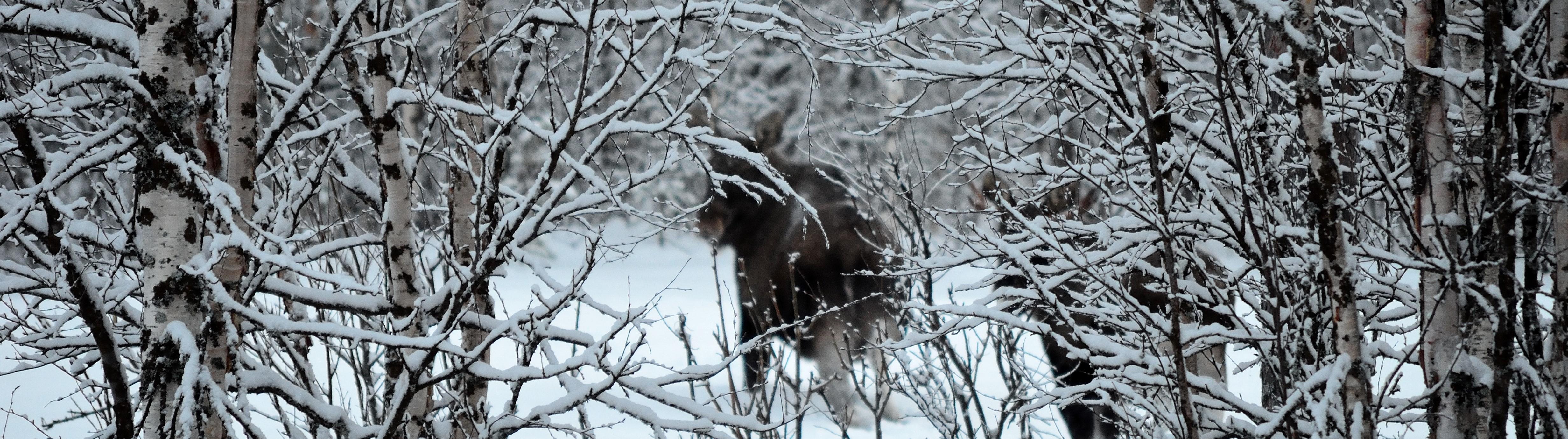 Illustrasjonsbilde av elg i skogen