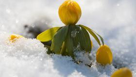 Bilde av krokus i snø