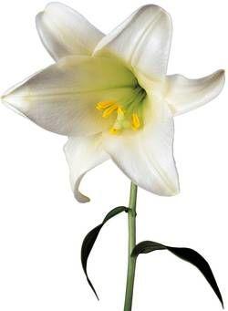 Blomst - lilje