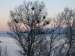 Mange fuglereir i samme tre - også fugler bor i blokk
