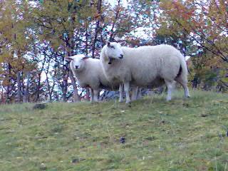 2 sauer i skog.jpg