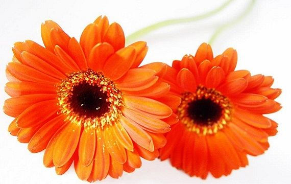 blomst - gerbera