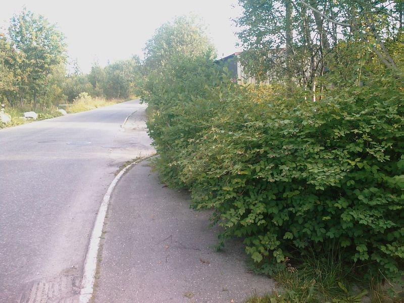 Tett buskas ved veg. Foto: Trygg Trafikk.