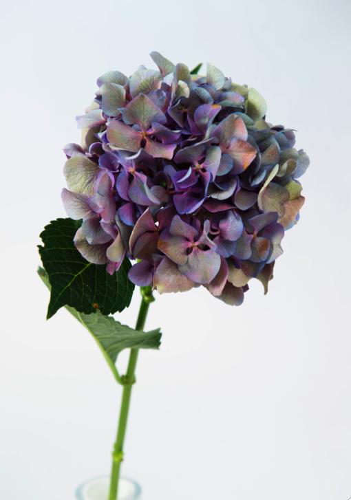 Blå hortensiaklase