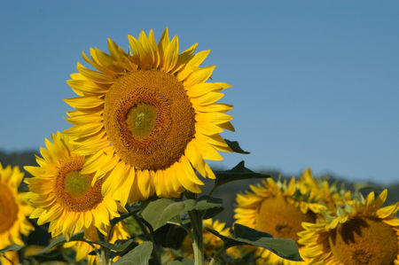 sunflowers-1404713-1598x1062