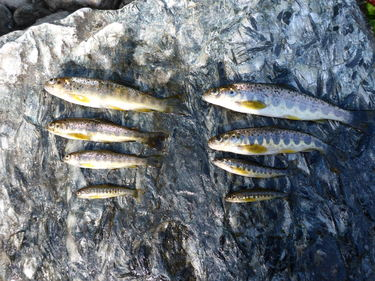 ungfisk fra Homla