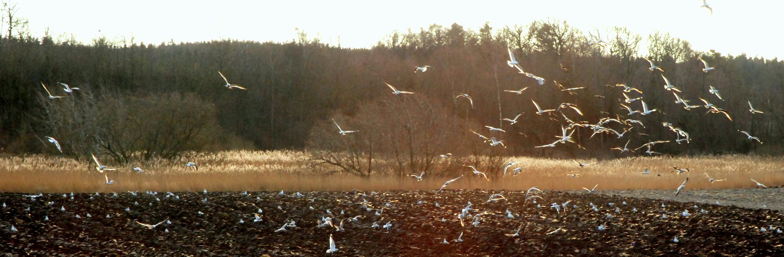 Illustrasjonsbilde av fugler som flyr opp fra jorde
