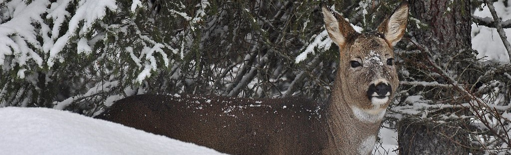 Bilde av hjort i skogen vinterstid
