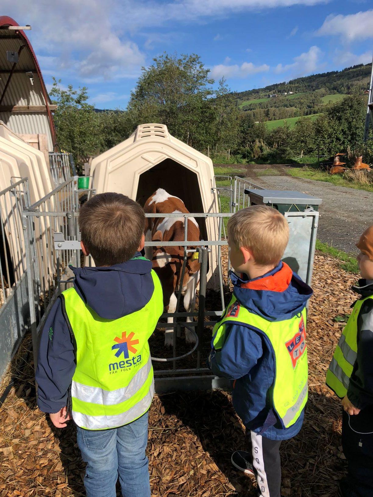 barn hilser på kalver