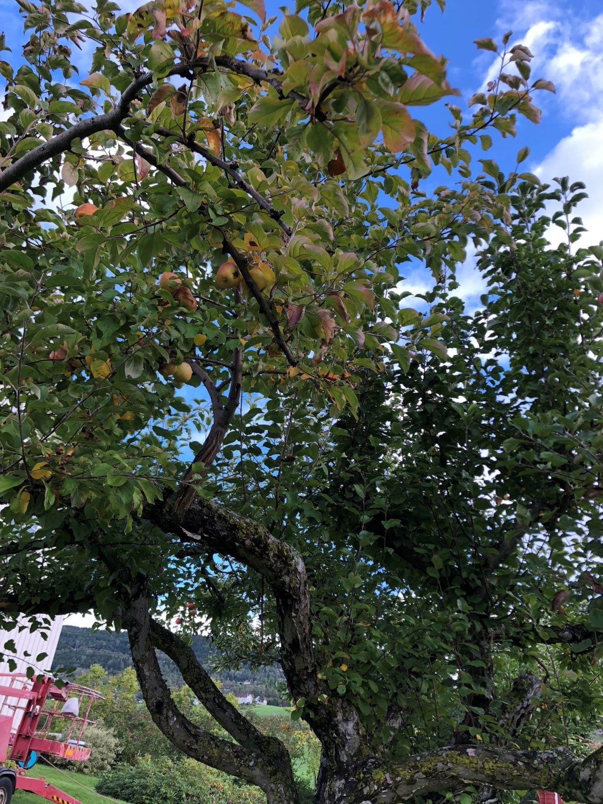 et tre fullt av modne epler