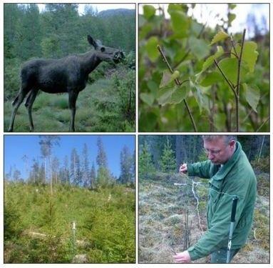 Bilde av elg som beiter, nærbilde av beitemark, person i utmark og utmarksområde