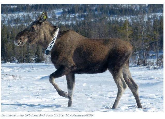 Elg med GPS-halsbånd.Foto Rolandsen/NINA