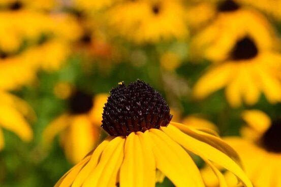 sommerblomst-gul
