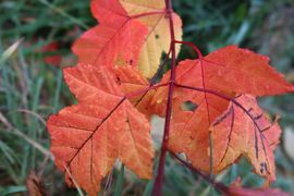 Rødt høstblad