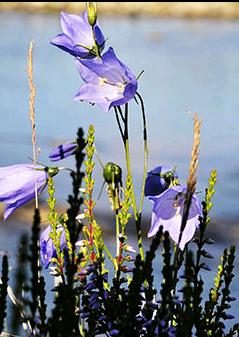 blomsterklokke