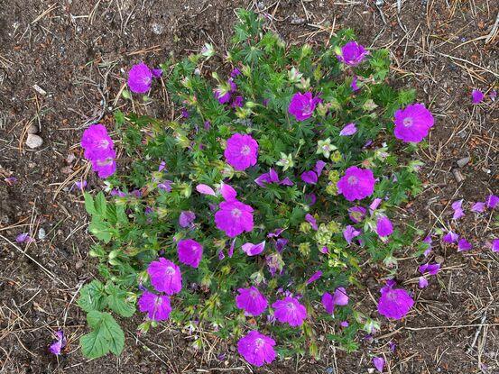 Rosa blomar
