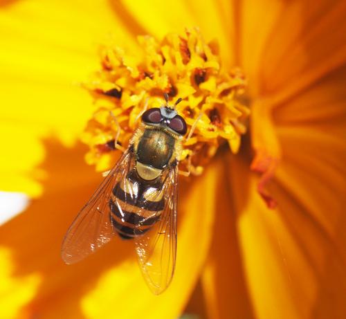 Illustrasjonsfoto Pollinerande insekt