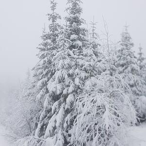 Snø i trær