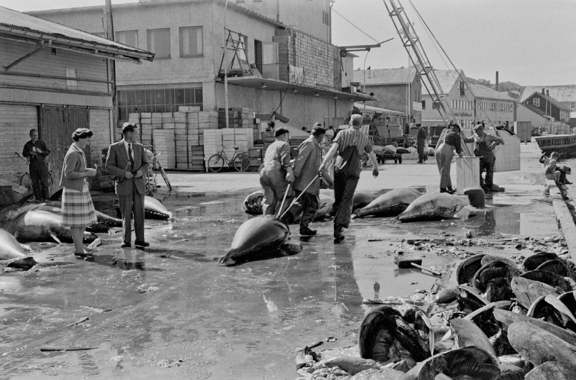 Størjefiske i Sandnessjøen på 1950-tallet. Foto: Per Lillegaard / Helgeland Museum