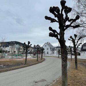 Knutekollet lindeallé i Bjørnstjerne Bjørnsons gate