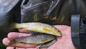 Ungfisk - Homla og Høibybekken